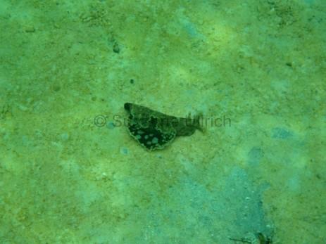 Eine der spannenden Entdeckungen: ein Flügel-Seehase - eine Meeresschnecke