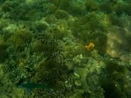 Ein Mondsichel-Lippfisch vor einer der tollen Korallenbänke vor Sapi