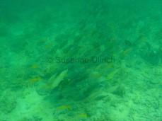 Vor Sapi: Ein Schwarm von verschiedenen Kaninchenfischen und Papageifischen