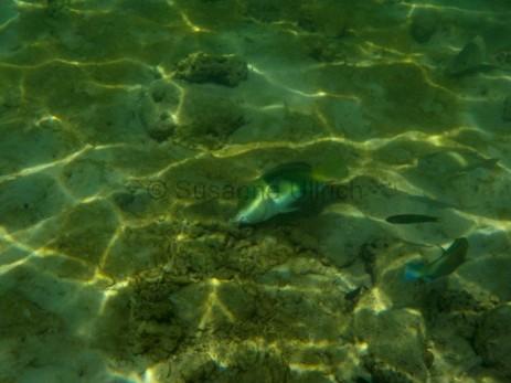 Ein Zweifarbenbanner-Lippfisch sucht nach Futter