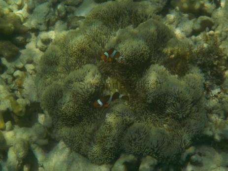 Ein toller Schnappschuss von Falschen Clownfischen
