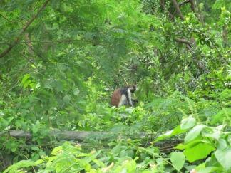 Entdeckt beim Spaziergang: Ein Red Colobus Monkey
