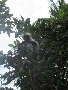 Einer der Red Colobus Monkeys im Jozani Forest