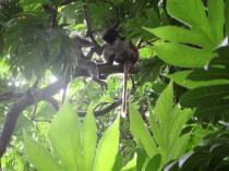 Noch mehr Red Colobus Monkeys