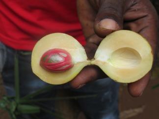 So sieht Muskatnuss frisch nach der Ernte aus