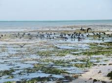 Krähenversammlung am Strand bei Ebbe