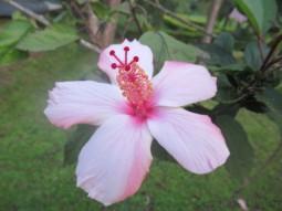 Tolle Hibiskusblüten auf dem Gelände der Meru View Lodge