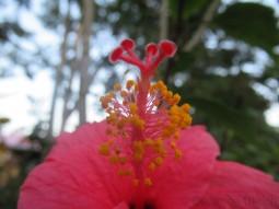 Hibiskusblüten-Fotospielerei