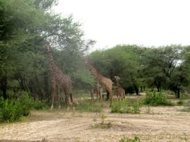 Nur wenige Meter vom Camp entfernt sehen wir eine Gruppe Giraffen