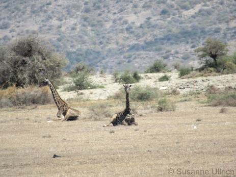 Für mich total faszinierend: Da liegen halt einfach mal Giraffen am Straßenrand rum