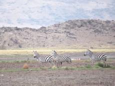 Die Zebras hier sind wirklich faszinierend