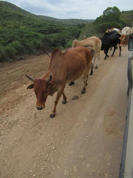 Eine der vielen Kuhherden, die vorbei getrieben werden