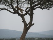 Ein Gepard hält Ausschau nach ... ja nach was eigentlich?