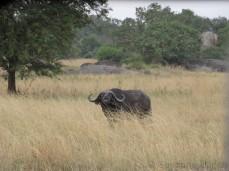 Immer wieder sehen wir auch Büffel