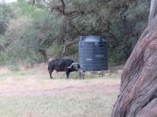 Mit den Hörnern öffnet er sich selbst den Hahn am Wassertank