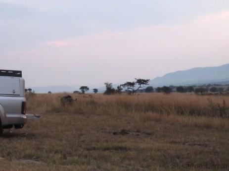 Frühmorgendlicher Besuch: Ein Büffel trottet am Camp vorbei