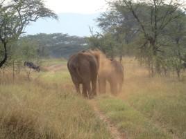 """Zum Schutz gegen die Sonne """"pudern"""" sich die Elefanten mit dem roten Staub"""