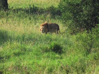 Der Löwe pirscht sich aus seinem Versteck