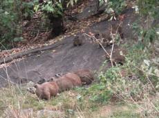 Die Klippschliefer-Familie im Camp