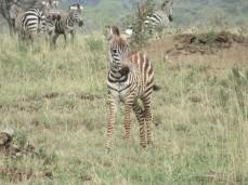 Süsser Zebra-Nachwuchs