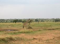 Und immer wieder Giraffen