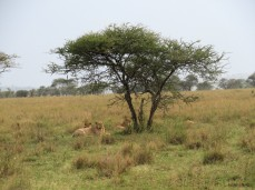 Ganz entspanntes Löwenrudel, obwohl unzählige Touristen da stehen