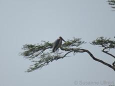 Überraschung für mich: ein Marabu hoch oben im Baum