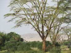 Kein Affenbrotbaum sondern eine Fieberakazie voller Paviane