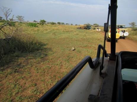 Stau in der Serengeti