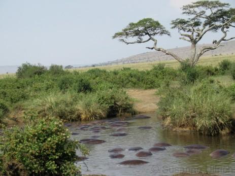 Ein ganzer See voller Flusspferde - und es stinkt ganz schön