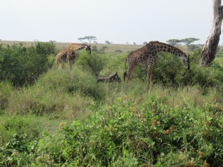 So viele Giraffen - toll