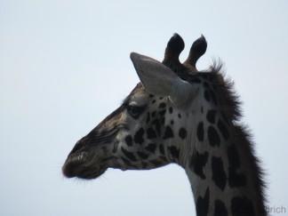 Ich liebe diese Falten in den Giraffengesichtern