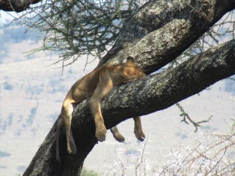 Tiefenentspannte Löwen