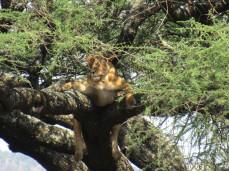 Gleich zwei entspannte Löwinnen in einem Baum