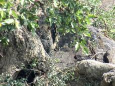 Der Leoparden-Nachwuchs ist ganz schnell wieder verschwunden