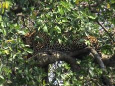 Mama Leopard versteckt sich im Baum