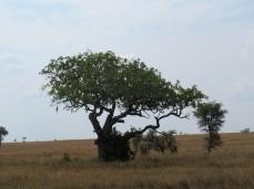 Der Leberwurstbaum, wegen seiner markanten Früchte