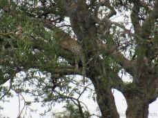Hier döst der Leoparden Papa im Baum