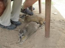 Die Klippschliefer warten unterm Tisch ob was vom LunchPaket für sie abfällt