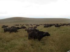 Immer wieder Büffelherden