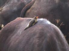 Auf fast jedem Büffel sitzt ein Madenhacker