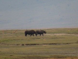 Nur 23 Spitzmaulnashörner leben im Ngorongoro-Krater