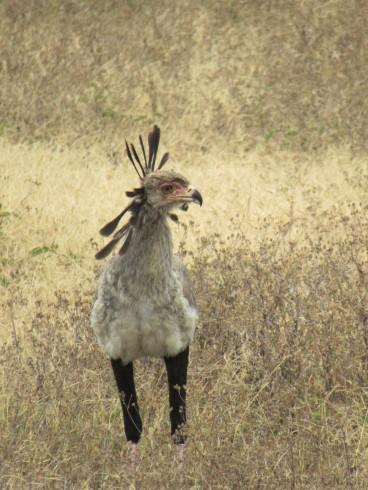 Steile Friese: der Sekretärvogel
