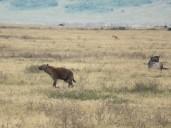 Hyänen auf der Suche nach Futter