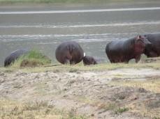 Hippo-Popos