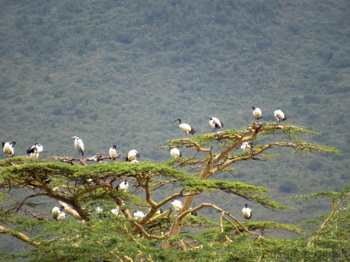 Ein Baum voll mit Heiligen Ibissen